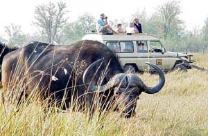 Buffel in Afrika met landrover op de achtergrond