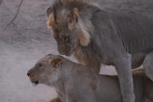 Leeuwen in Namibië
