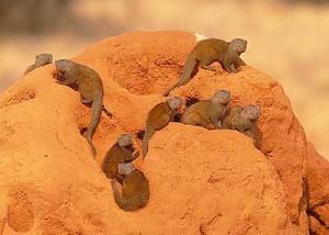 Dwerg Mongoosen op een rots
