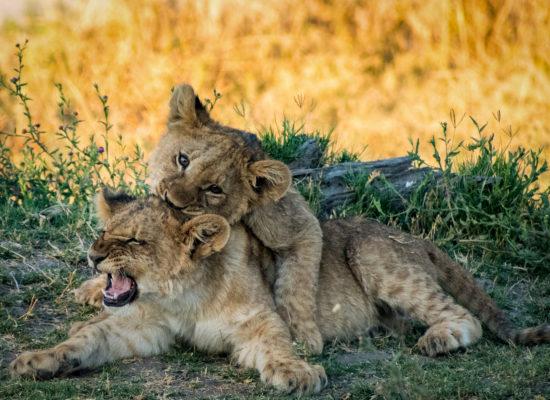 Leeuwen welpen Kruger nationaal park