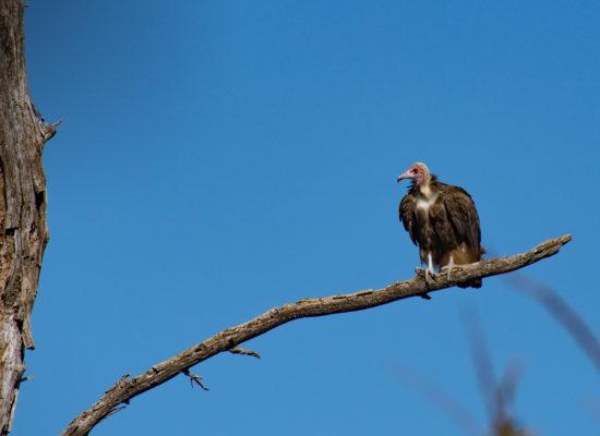 Gier Chobe Botswana