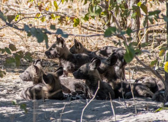 Wilde honden Chobe Botswana