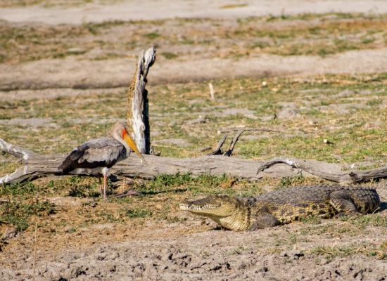 Krokodil en ooievaar Chobe rivier Botswana