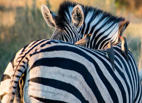 Zeba met vogels op de rug Makgadi nationaal park Botswana