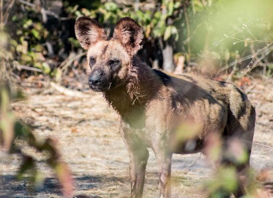 Wilde hond Chobe Botswana