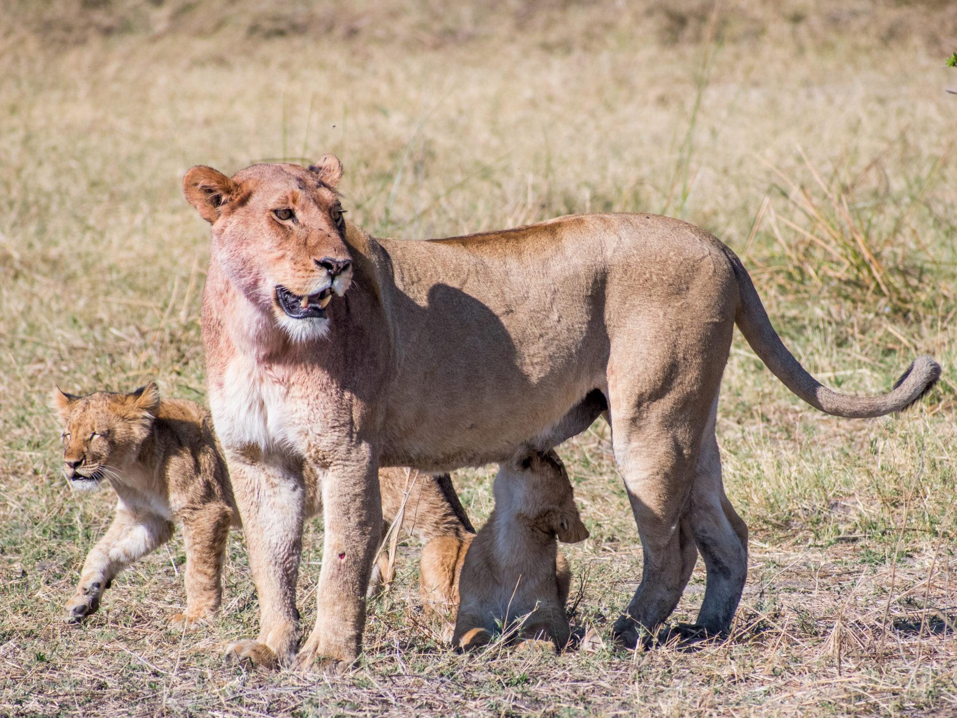 Leeuwin en welpen Savute Chobe Botswana