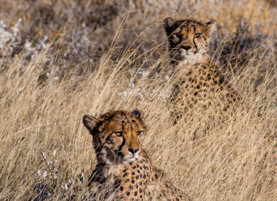 Cheeta's in gras Botswana