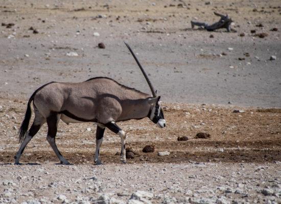 Spiesbok, Oryx Namibië