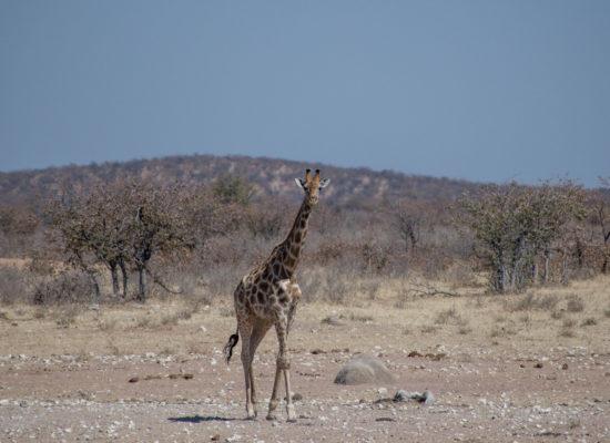 Giraffe Pilanesberg Zuid Afrika