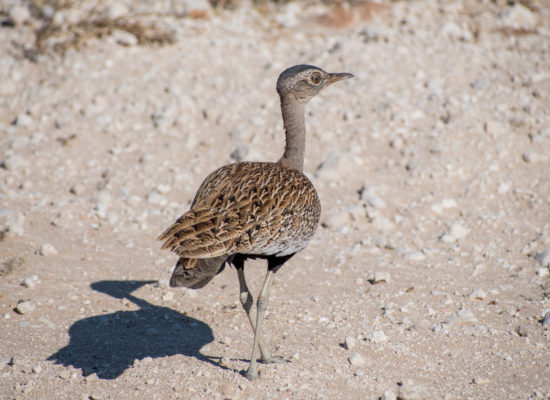 Khorhaan vogel Namibië