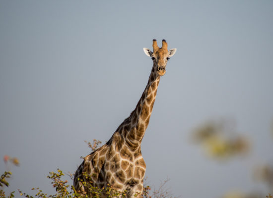 Giraffe Namibië