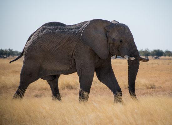 Olifant Savuti Botswana