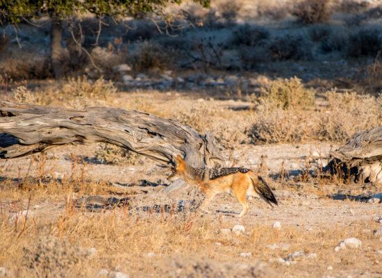 Jakhals Namibië