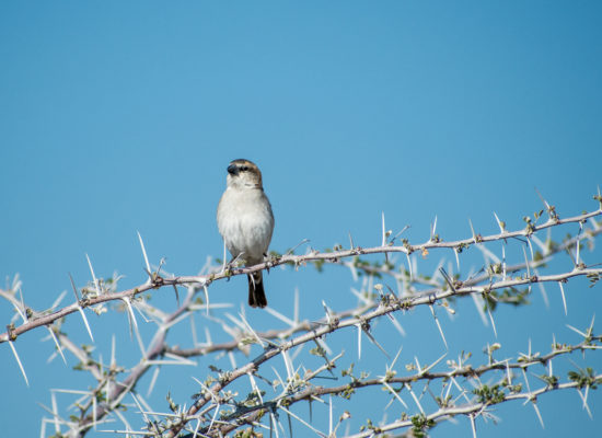 Vogel in doornboom Namibië
