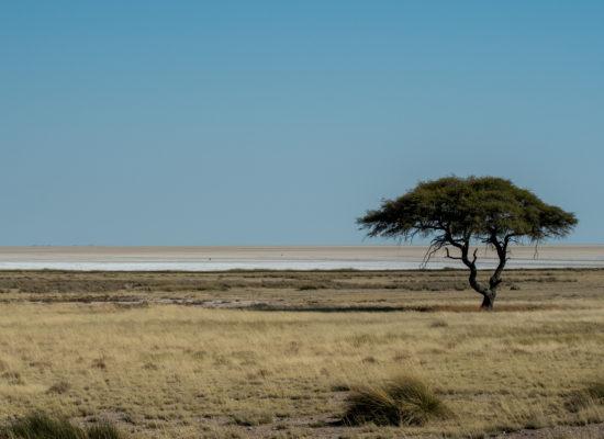 Eenzame boom Etosha pan Namibië