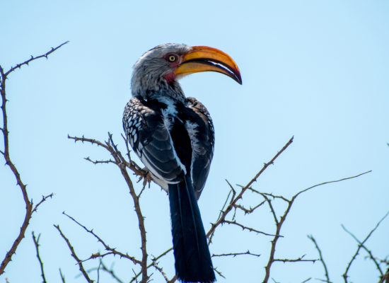 Neushoornvogel Nambië