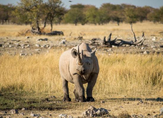 Neushoorn Etosha nationaal park Namibië