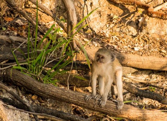 Aapje Krugerpark Zuid Afrika