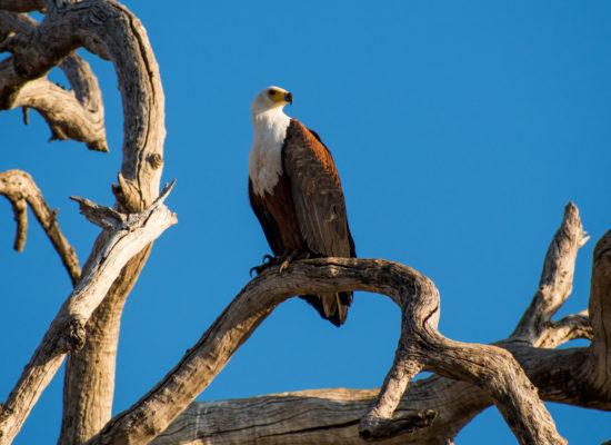 Visarend Zambezi rivier Zambia