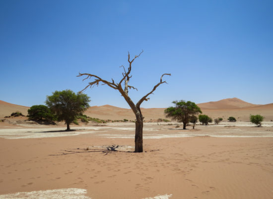 Dode boom Namibië