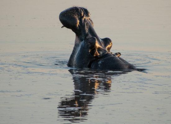 Nijlpaard in water bij Pilanesberg nationaal park Zuid Afrika