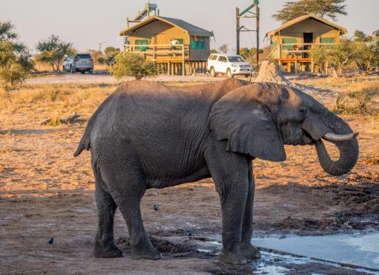 Olifant bij Elephant Sands Botswana