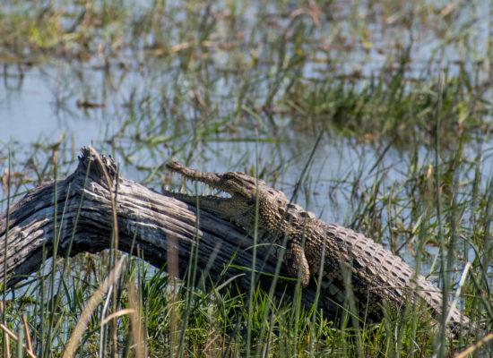 Krokodil bij Zambezi rivier Zambia