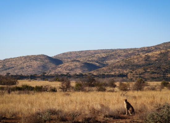 Luipaarden Afrika