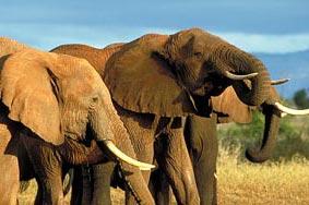 Woestijn olifanten in Namibië