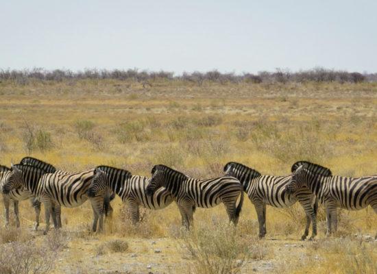 Groepje zebra's op een steppe in Afrika