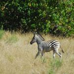 Zebra in grasland